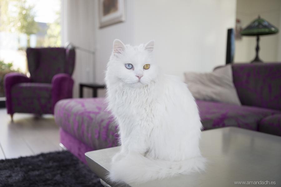 gato boda